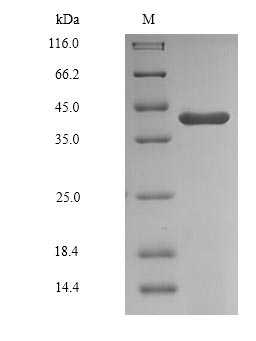 GAPDHS / GAPDS Protein - (Tris-Glycine gel) Discontinuous SDS-PAGE (reduced) with 5% enrichment gel and 15% separation gel.