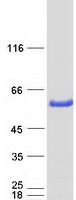 GATM / AGAT Protein - Purified recombinant protein GATM was analyzed by SDS-PAGE gel and Coomassie Blue Staining