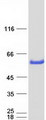 Purified recombinant protein GATM was analyzed by SDS-PAGE gel and Coomassie Blue Staining