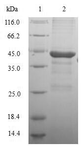 GC / Vitamin D-Binding Protein Protein - (Tris-Glycine gel) Discontinuous SDS-PAGE (reduced) with 5% enrichment gel and 15% separation gel.