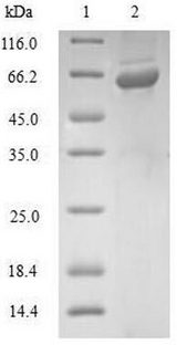 GLRX3 / Glutaredoxin 3 Protein - (Tris-Glycine gel) Discontinuous SDS-PAGE (reduced) with 5% enrichment gel and 15% separation gel.