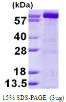 GMPS / GMP Synthase Protein