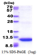 GNG11 Protein