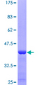 GPR84 Protein - 12.5% SDS-PAGE Stained with Coomassie Blue.