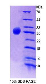 GPS1 / CSN1 Protein - Recombinant  Casein Alpha By SDS-PAGE