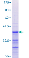 GREM1 / Gremlin-1 Protein - 12.5% SDS-PAGE Stained with Coomassie Blue.