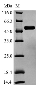 GSK3B / GSK3 Beta Protein - (Tris-Glycine gel) Discontinuous SDS-PAGE (reduced) with 5% enrichment gel and 15% separation gel.