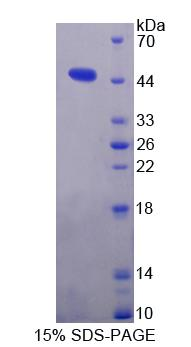 GSN / Gelsolin Protein - Recombinant Gelsolin By SDS-PAGE