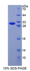 GZMB / Granzyme B Protein - Recombinant  Granzyme B By SDS-PAGE