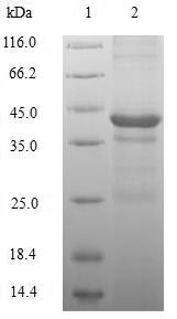 H2AFZ / H2A.z Protein - (Tris-Glycine gel) Discontinuous SDS-PAGE (reduced) with 5% enrichment gel and 15% separation gel.