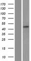 HAPLN4 Protein - Western validation with an anti-DDK antibody * L: Control HEK293 lysate R: Over-expression lysate