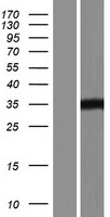 HDAC11 Protein - Western validation with an anti-DDK antibody * L: Control HEK293 lysate R: Over-expression lysate