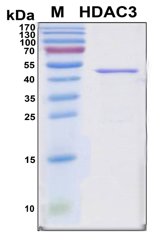 HDAC3 Protein - SDS-PAGE under reducing conditions and visualized by Coomassie blue staining