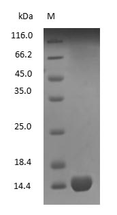 Hemoglobin Protein - (Tris-Glycine gel) Discontinuous SDS-PAGE (reduced) with 5% enrichment gel and 15% separation gel.