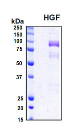 HGF / Hepatocyte Growth Factor Protein - SDS-PAGE under reducing conditions and visualized by Coomassie blue staining