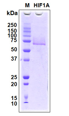HIF1A / HIF1 Alpha Protein - SDS-PAGE under reducing conditions and visualized by Coomassie blue staining