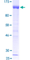 12.5% SDS-PAGE of human HIF1A stained with Coomassie Blue
