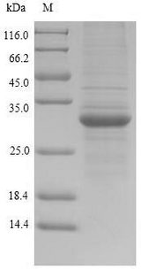 HLA-DRA Protein - (Tris-Glycine gel) Discontinuous SDS-PAGE (reduced) with 5% enrichment gel and 15% separation gel.