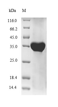 HLA-G Protein - (Tris-Glycine gel) Discontinuous SDS-PAGE (reduced) with 5% enrichment gel and 15% separation gel.
