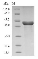 HMGCL Protein - (Tris-Glycine gel) Discontinuous SDS-PAGE (reduced) with 5% enrichment gel and 15% separation gel.