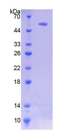 HSF2 Protein - Recombinant  Heat Shock Transcription Factor 2 By SDS-PAGE