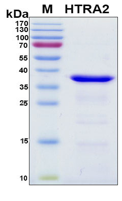 HTRA2 / OMI Protein - SDS-PAGE under reducing conditions and visualized by Coomassie blue staining