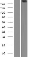 HTT / Huntingtin Protein - Western validation with an anti-DDK antibody * L: Control HEK293 lysate R: Over-expression lysate