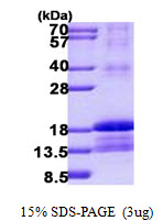 ID2 Protein