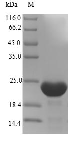 IFNA14 / Interferon Alpha 14 Protein - (Tris-Glycine gel) Discontinuous SDS-PAGE (reduced) with 5% enrichment gel and 15% separation gel.