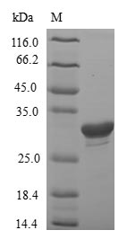 IGHG1 / IgG Protein - (Tris-Glycine gel) Discontinuous SDS-PAGE (reduced) with 5% enrichment gel and 15% separation gel.