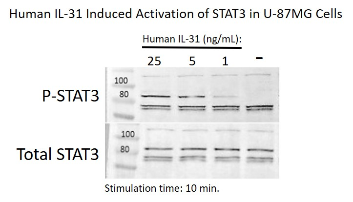 Human IL-31 Activation of STAT3 in U-87 MG cells