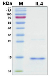 IL4 Protein - SDS-PAGE under reducing conditions and visualized by Coomassie blue staining