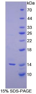 INHBC Protein - Recombinant Inhibin Beta C By SDS-PAGE