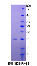 INSL3 Protein - Recombinant  Insulin Like Protein 3 By SDS-PAGE