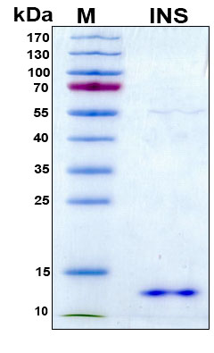 Insulin Protein - SDS-PAGE under reducing conditions and visualized by Coomassie blue staining