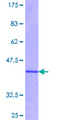 IRS2 / IRS-2 Protein - 12.5% SDS-PAGE Stained with Coomassie Blue.