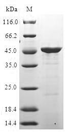 ITGA2 / CD49b Protein - (Tris-Glycine gel) Discontinuous SDS-PAGE (reduced) with 5% enrichment gel and 15% separation gel.