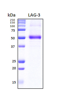 LAG3 Protein - SDS-PAGE under reducing conditions and visualized by Coomassie blue staining