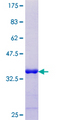 LBX1 Protein - 12.5% SDS-PAGE Stained with Coomassie Blue.