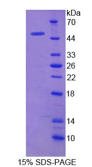 LDHD / Lactate Dehydrogenase D Protein - Recombinant  Lactate Dehydrogenase D By SDS-PAGE