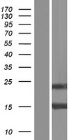 LGALS7 / Galectin 7 Protein - Western validation with an anti-DDK antibody * L: Control HEK293 lysate R: Over-expression lysate