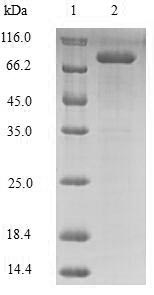LOX / Lysyl Oxidase Protein - (Tris-Glycine gel) Discontinuous SDS-PAGE (reduced) with 5% enrichment gel and 15% separation gel.