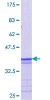MAFB Protein - 12.5% SDS-PAGE Stained with Coomassie Blue.