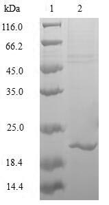 MAFK Protein - (Tris-Glycine gel) Discontinuous SDS-PAGE (reduced) with 5% enrichment gel and 15% separation gel.