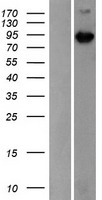 MAP3K15 / ASK3 Protein - Western validation with an anti-DDK antibody * L: Control HEK293 lysate R: Over-expression lysate