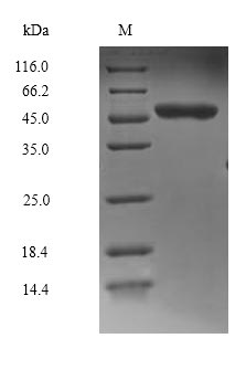 MAPK8 / JNK1 Protein - (Tris-Glycine gel) Discontinuous SDS-PAGE (reduced) with 5% enrichment gel and 15% separation gel.