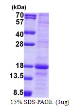MD-1 / LY86 Protein