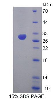MFN1 Protein - Recombinant Mitofusin 1 By SDS-PAGE