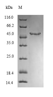 MGP / Matrix Gla-Protein Protein - (Tris-Glycine gel) Discontinuous SDS-PAGE (reduced) with 5% enrichment gel and 15% separation gel.