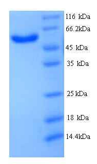 MICAL2 Protein